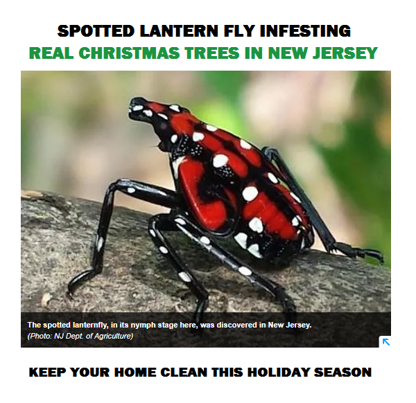 Lantern Fly Finds Way Into Your Home Through Real Christmas Trees
