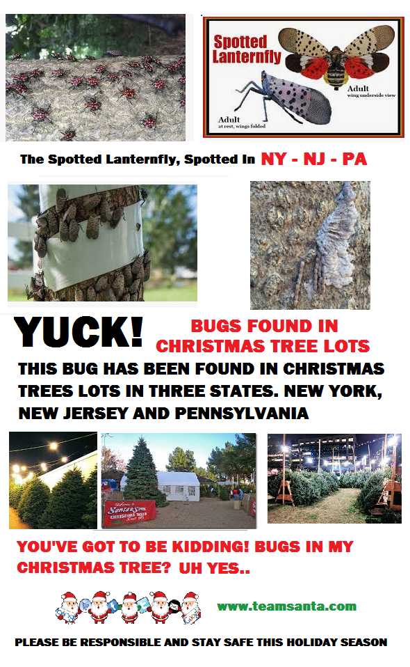 A Ravenous Creature, The Spotted Lanternfly, Now Spotted In New York Too. Safety Concerns Continue to Grow About Live Christmas Trees